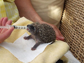 Baby hedgehogs, known as hoglets, need help to  feed when orphaned